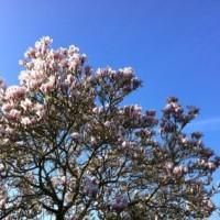 Camilia Tree